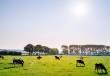 iew of Dutch Are Visiting Farms For 'Cow Cuddling